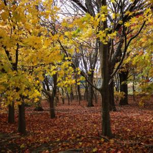 黄葉と落ち葉