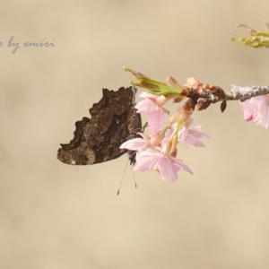 枯葉チョウと桜のコラボ