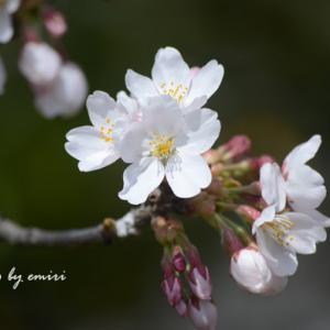 今、咲き時