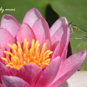 睡蓮の花を