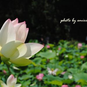 蓮池 花盛り