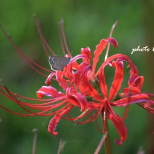 ひがん花と蝶