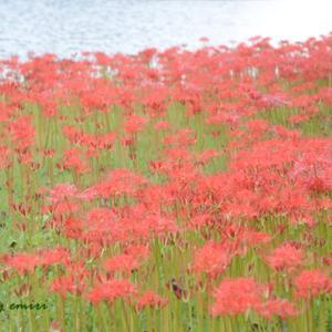 水辺の公園に咲く花