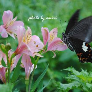 黒アゲハチョウ