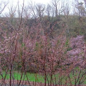 冷たい雨に...桜。