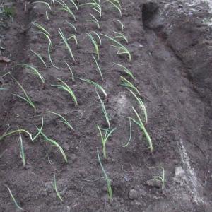 玉ねぎの苗を植えました 191205