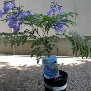 世界3大花木の一つ、ジャカランダの鉢植え 200524
