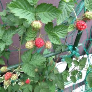 庭のベリー3種 実が付きました 200530