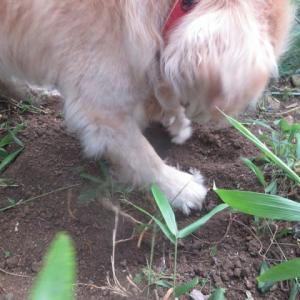 おかあさん、笹の根っこを掘ってあげるね 200603