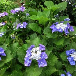 梅雨入りしました 庭の植物大喜び 200611