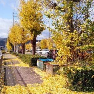 秋深まるイチョウ並木