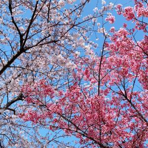桜グラデーション カンタン着物 喜結人