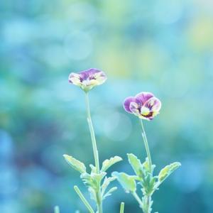 夏に咲くviola
