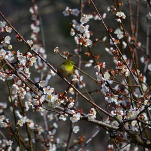 満開の梅と野鳥を愉しむ