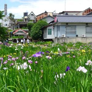 水害にも負けず・・・菖蒲の花が見ごろです