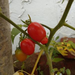 花壇のトマト(事務員の独り言)