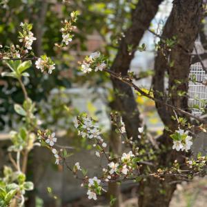 山桜桃とコンビニスイーツ