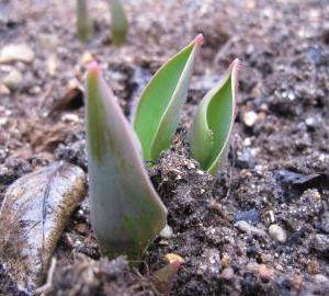 芽が出ました。