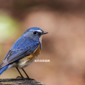 冬の青い鳥 / ルリビタキ