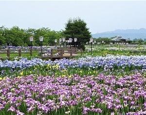 瓢湖 あやめ満開 2021.6.19