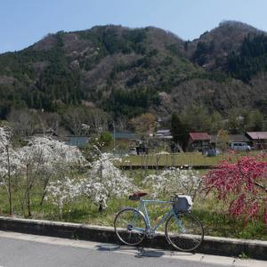 奥矢作の桜ポタ