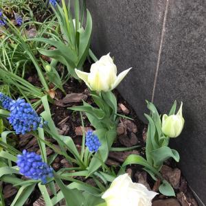 チューリップが咲いたよ!