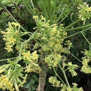 黄色いパパイアの花