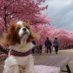 河津桜を見に伊豆へ