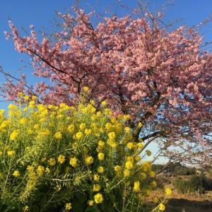 東京稲城の河津桜