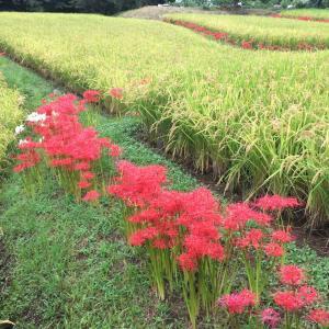 東京稲城の谷戸の秋、棚田と彼岸花と用水