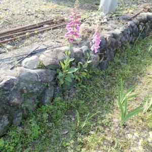 畑の花 石垣のジキタリス