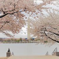 4月のワシントンDC☆最大イベント!ナショナル・チェリーブロッサム・フェスティバル2019