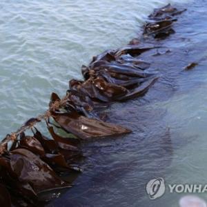 韓国産・釜山市機張郡の「昆布」初めて日本に初輸出された模様