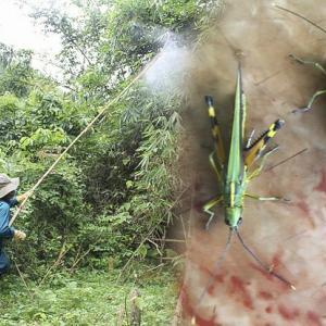 中国のバッタ、ベトナムへ大量に飛来し農作物に甚大な被害