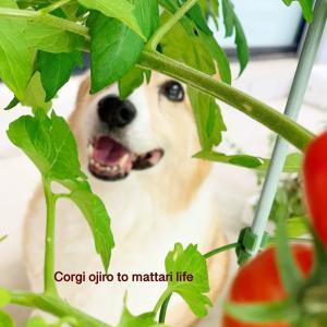オージのトマトさん 2020.summer