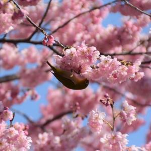 椿寒桜とメジロ2