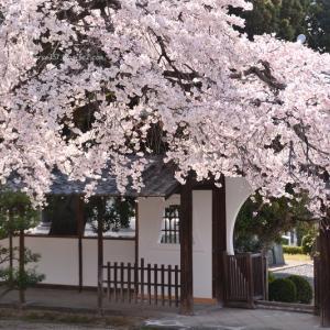香積院(こうじゃくいん)の枝垂れ桜