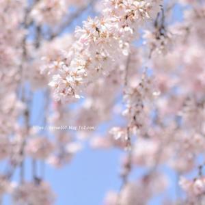 香積院(こうじゃくいん)の枝垂れ桜3