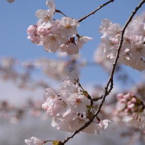 鶴舞公園の染井吉野が咲きました
