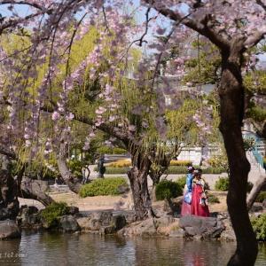鶴舞公園の枝垂れ桜