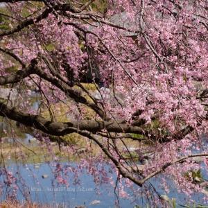 白鳥庭園の枝垂れ桜