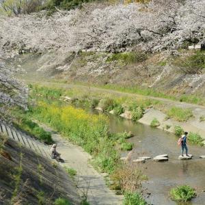 山崎川の桜2