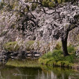 白鳥庭園の枝垂れ桜2