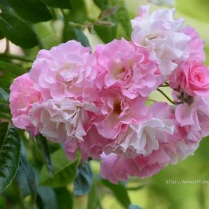 鶴舞公園のバラ2