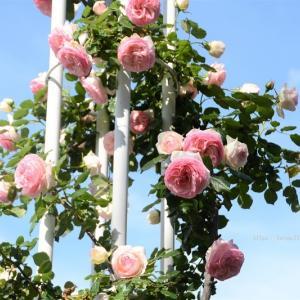 鶴舞公園のバラ3