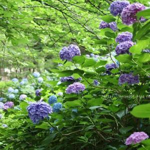 鶴舞公園の紫陽花