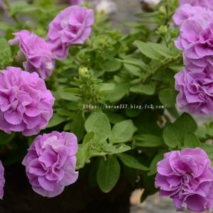 八重咲ペチュニア