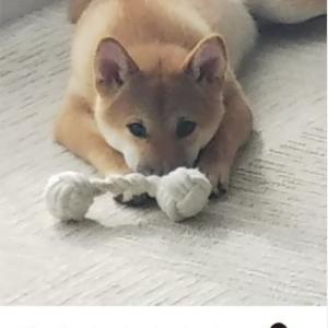 柴犬カレンダー(8月)