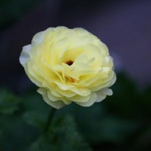 毎年咲くラナンキュラス&ウインティー