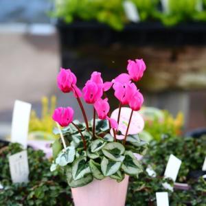 自然咲きがいい感じ&役に立ちますミックス植えが^^